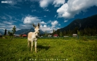 A donkey in the field at Arang Kel in Azad Kashmir Pakistan