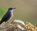 Blue Rock Thrush spotted in Naran Valley of Pakistan
