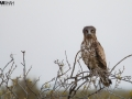 An owl resting before the encounte