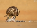 Falcon enjoys its lunch during Falconry