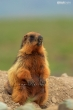 Golden Marmot at Deosai National Park, Skardu, GB, Pakistan