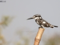 Pied KingFisher Resting