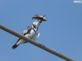 Pied KingFisher catches a fish for the lunch 001