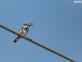 Pied KingFisher catches a fish for the lunch 002