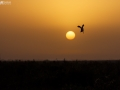 Pied kingfisher ready to hit the target during sunset in MirPur Sakro