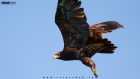 The Great Spotted Eagle in Karachi Sindh Pakistan