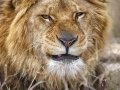 The furious looks of a lion in Lahore Safari